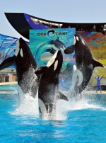 08-sea-world-orcas