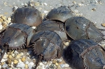 04-horseshoe-crabs