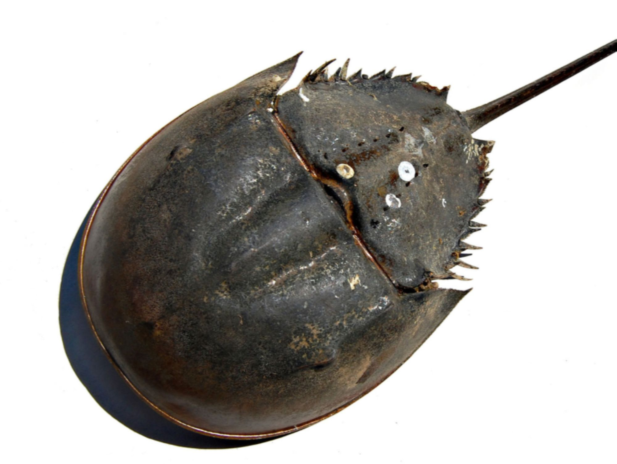09-Horseshoe-crab.jpg