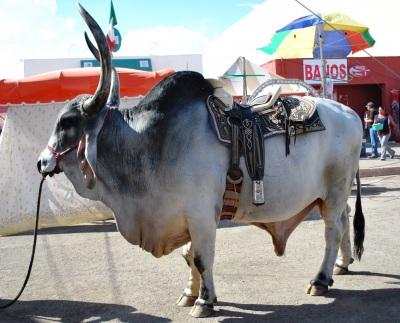12-brahma-bull