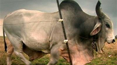 08-cloned-bull