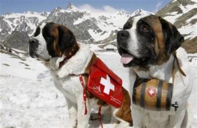 09-st-bernard-dogs