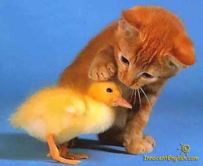 19-kitten-duck