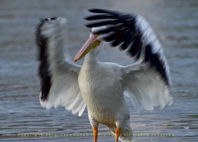 09-pelican