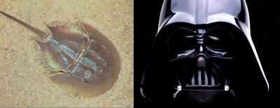 01-horseshoe-crab-vader