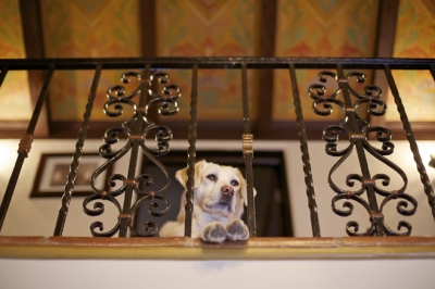 Pictured: the family dog, Molly, waiting above the entry for Carolla to come home.   CREDIT: Ethan Pines for The Wall Street Journal. Slug: Home Front - Adam Carolla