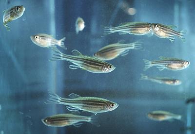 07-zebra-fish