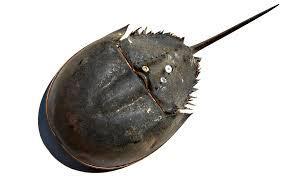 03-horseshoe-crab.jpeg