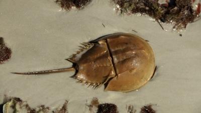 04-HorseshoeCrab.jpg