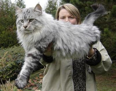 04-maine-coon-cat-size-2.jpg