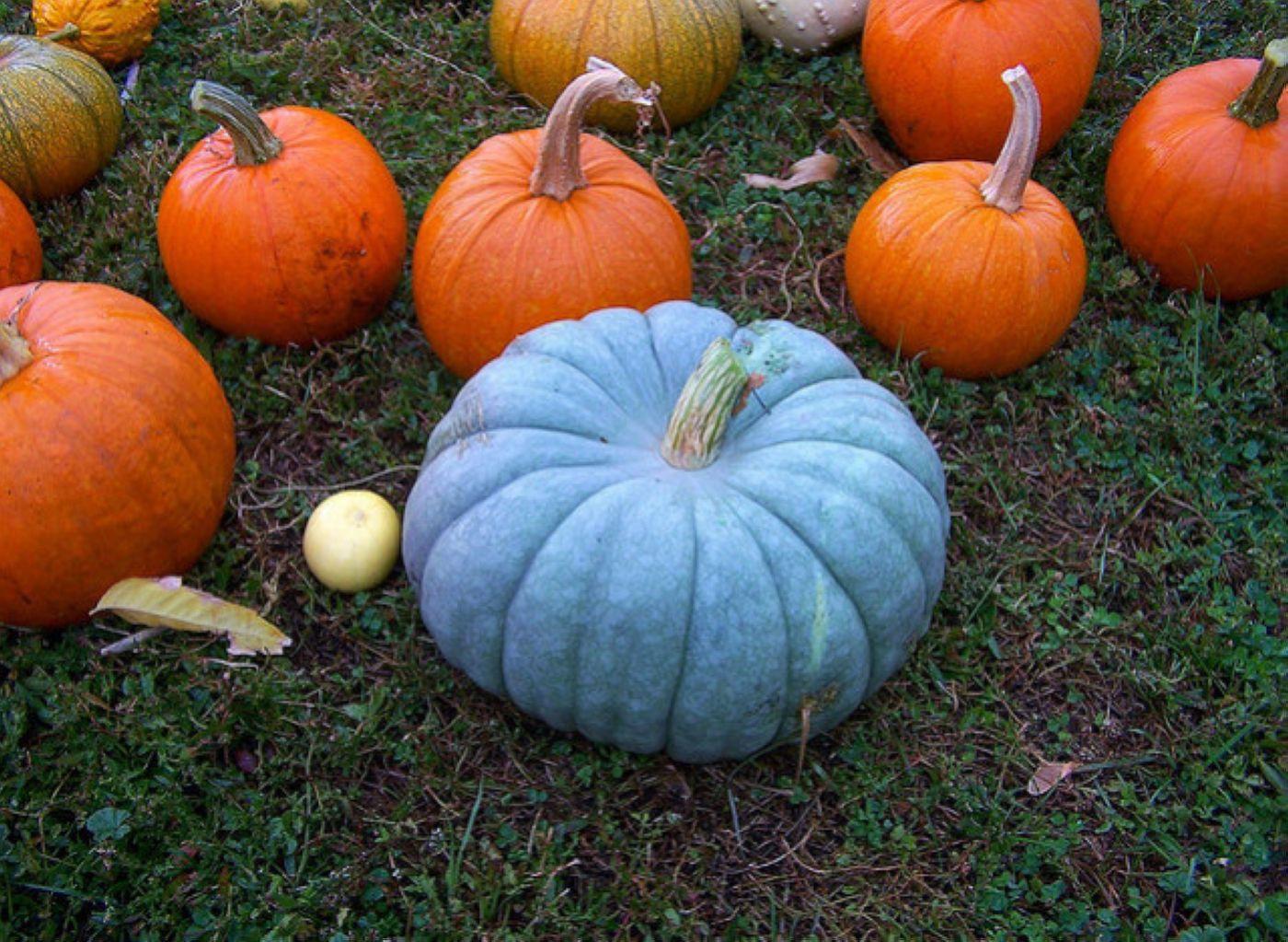 06-Blue-pumpkin_1.jpg