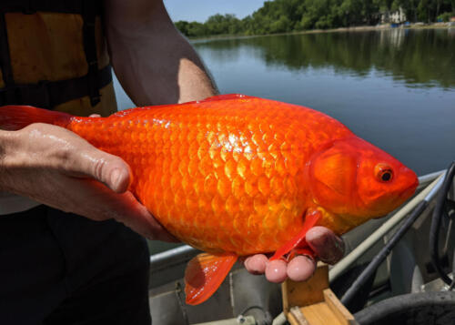 08 - Big Goldfish 2