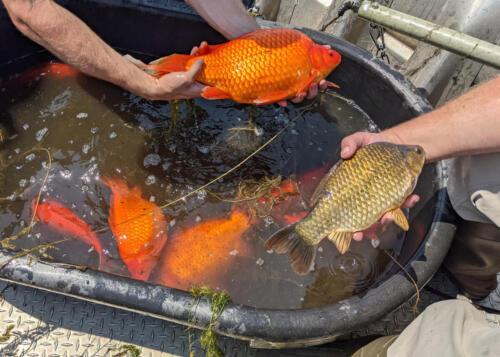 09 - Big Goldfish 3